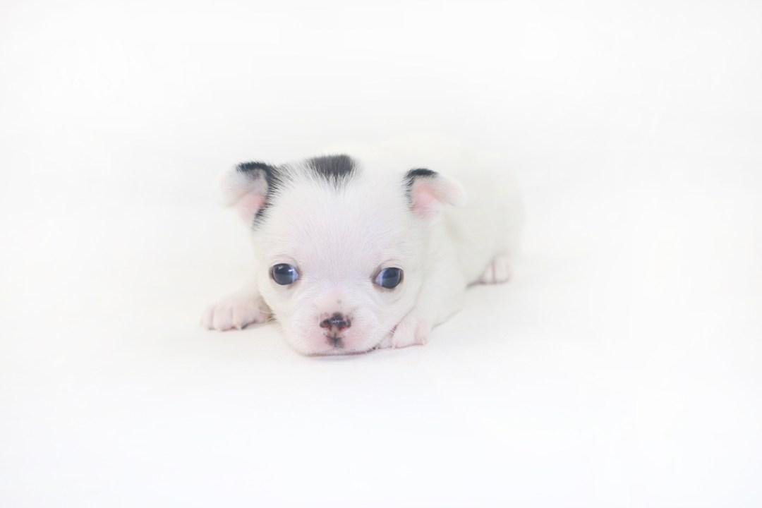 Hippity Hoppity - 3 Week Old Chihuahua Puppy- 1 lb 2 ozs.