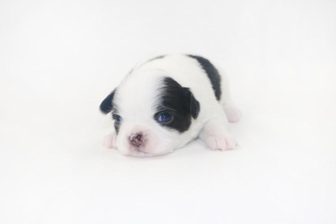 Boozy Bunny - 2 Week Old Chihuahua Puppy - 13 ozs.