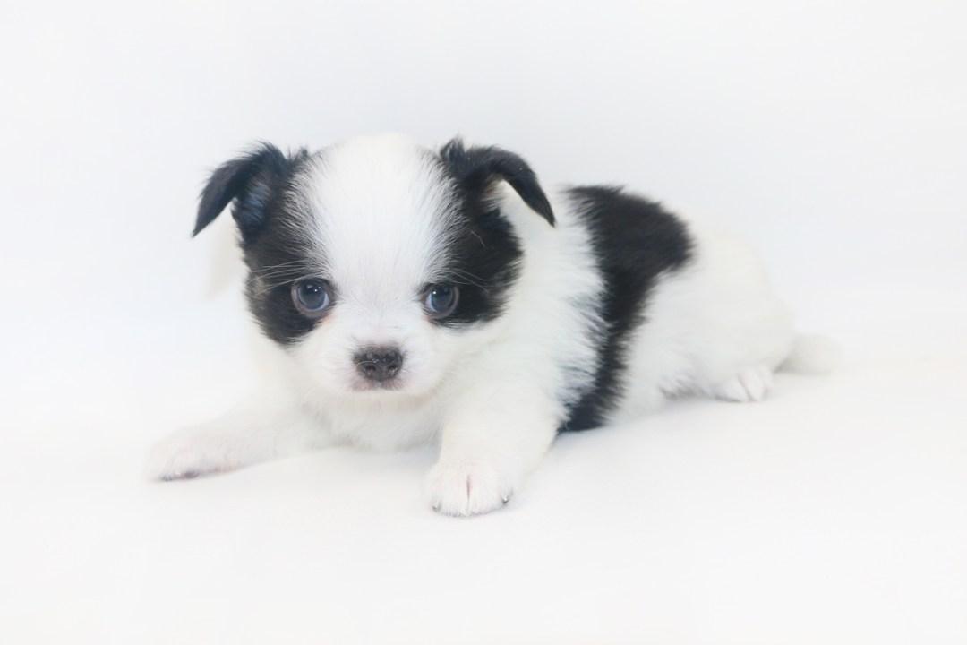 Boozy Bunny - 5 Week Old Chihuahua Puppy - 1 lb 10 ozs.