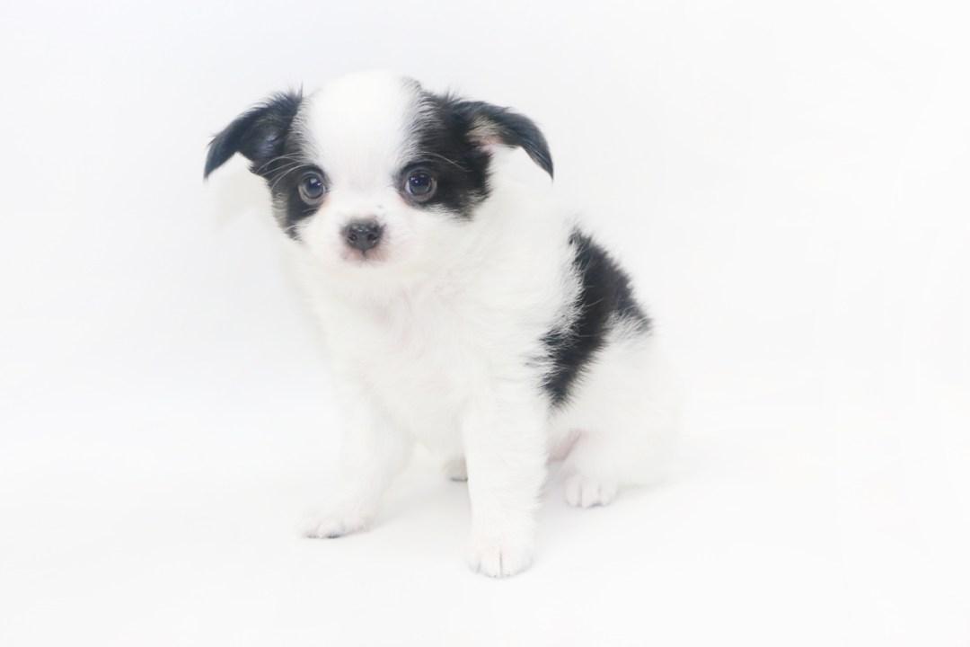 Boozy Bunny - 7 Week Old Chihuahua Puppy - 2 lbs 4 ozs.
