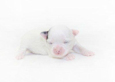 Naughty Peeps - 1 Week Old Chihuahua Puppy - 8.8 ozs.