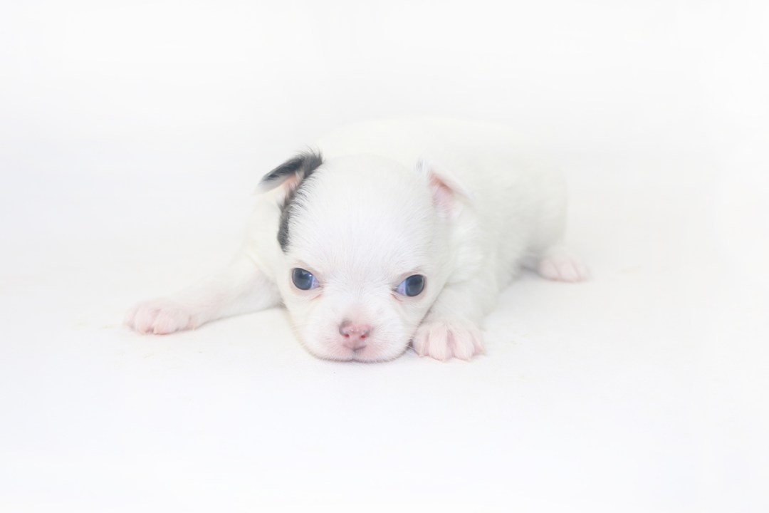 Naughty Peeps - 3 Week Old Chihuahua Puppy - 15 ozs.
