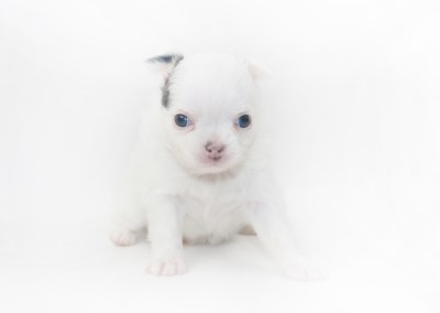 Naughty Peeps - 4 Week Old Chihuahua Puppy - 1lb 3 ozs.