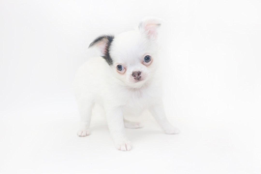 Naughty Peeps - 8 Week Old Chihuahua Puppy - 2lb 3 oz