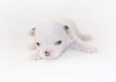 Jelly Bean-itini - 2 Week Old Chihuahua Puppy - 8 ozs.