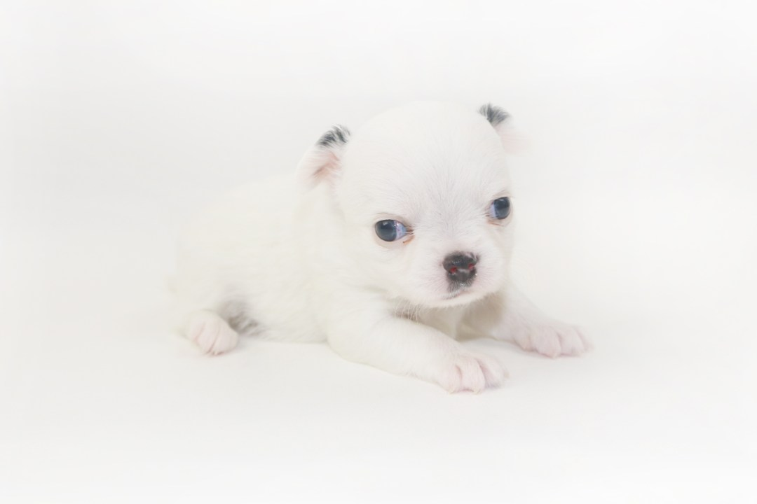 Jelly Bean-itini - 4 Week Old Chihuahua Puppy - 1 lb 1.5 ozs.