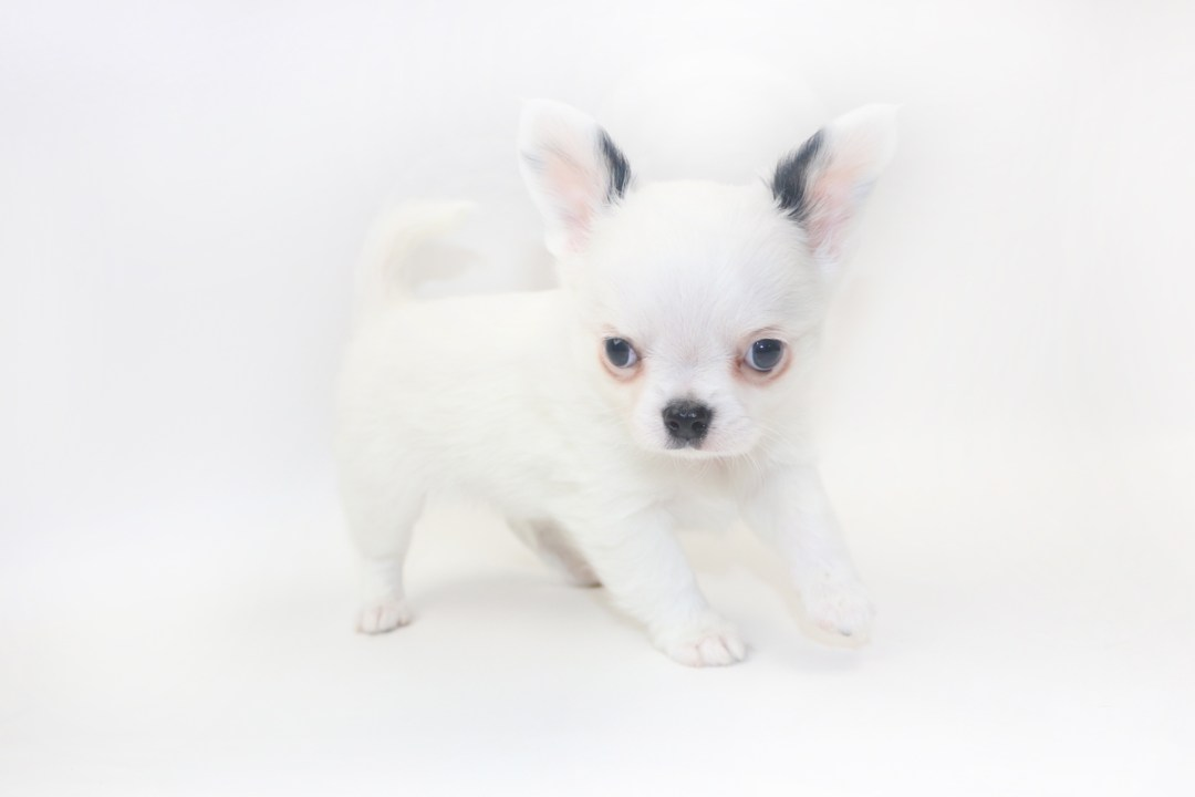 Jelly Bean-itini - 8 Week Old Chihuahua Puppy - 1 lb 11 ozs.