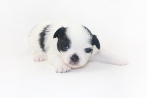 Speckled Egg Mimosa - 2 Week Old Chihuahua Puppy - 13.5 ozs.