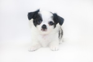 Speckled Egg Mimosa - 7 Week Old Chihuahua Puppy - 2 lbs 6 oz.