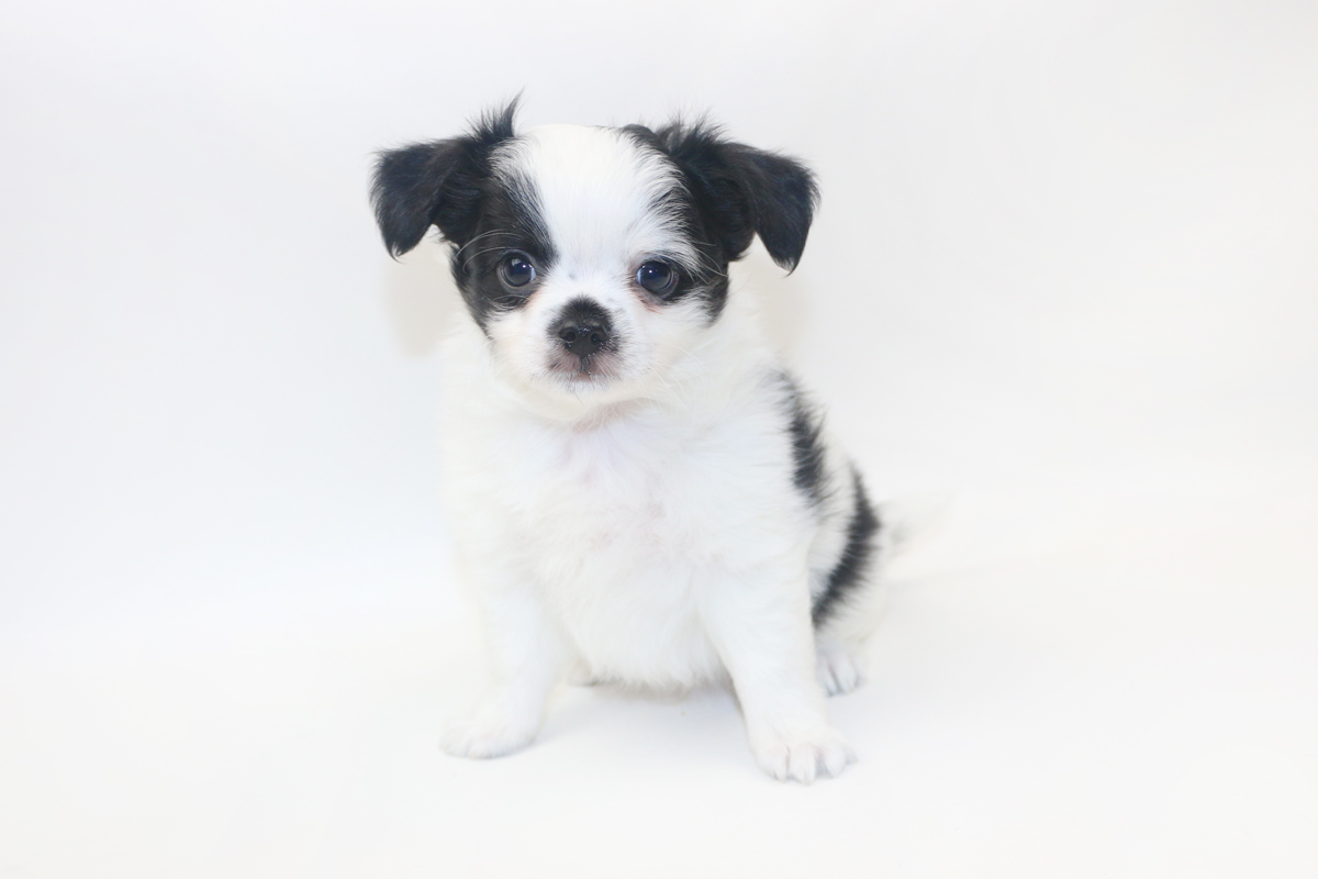 Speckled Egg Mimosa - 8 Week Old Chihuahua Puppy - 2 lbs 10 oz.