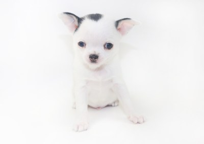 Hippity Hoppity - 6 Week Old Chihuahua Puppy- 2 lb 1 oz
