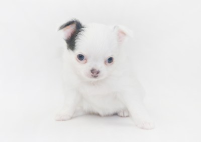 Naughty Peeps - 5 Week Old Chihuahua Puppy - 1lb 6 ozs.