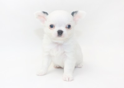 Jelly Bean-itini - 6 Week Old Chihuahua Puppy - 1 lb 6 ozs.