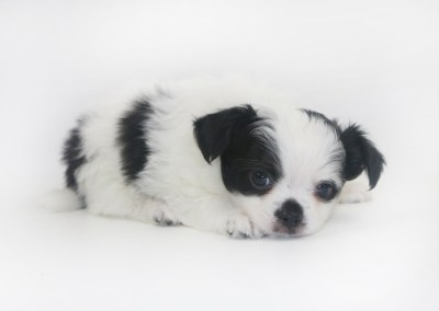 Speckled Egg Mimosa - 5 Week Old Chihuahua Puppy - 1 lb 13 ozs.