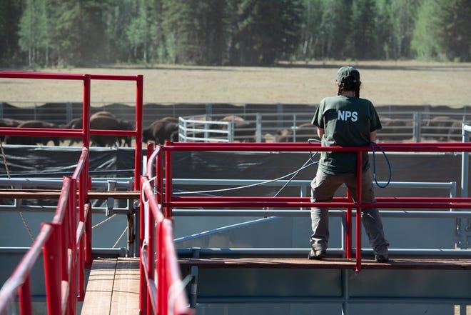 NPS wildlife biologist Miranda Terwilliger shuts a gate behind on a bison on Sept. 4, 2020.