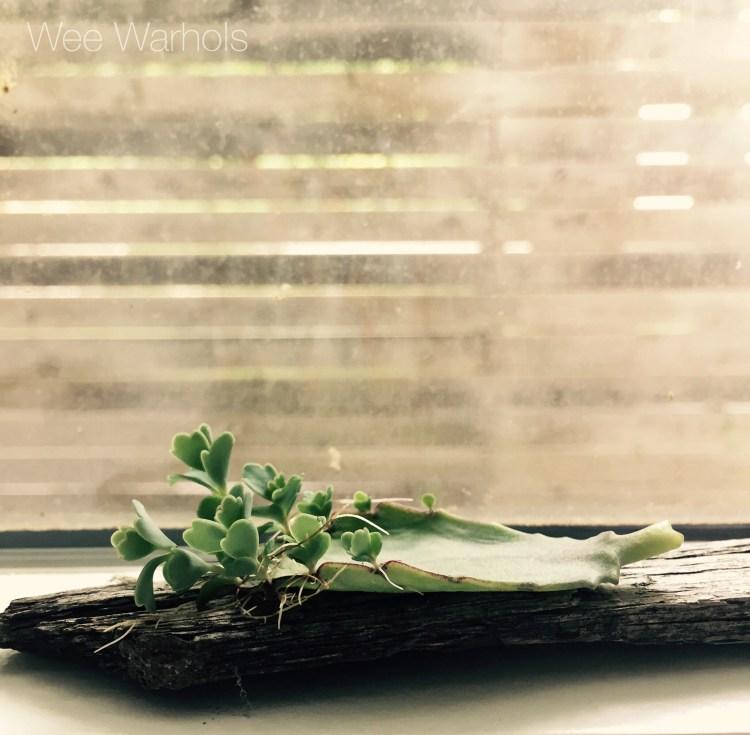propagation, botany, STEM, succulents, Austin, Wee Warhols