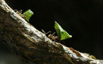 Texas cutter ants