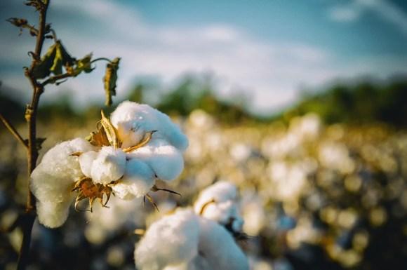 invest in cotton