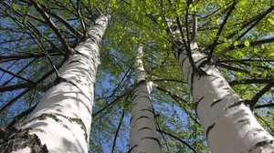 Bijela breza - opis stabla, fotografije i videozapisi. Breza opisati