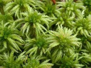 Где растет мох сфагнум как используют растение