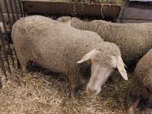est à laine mérinos