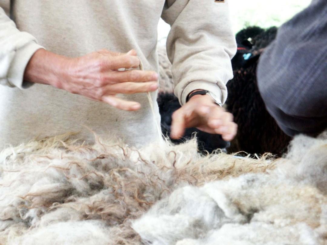 [:fr]tonte des mouton mérinos du portugal noir[:]