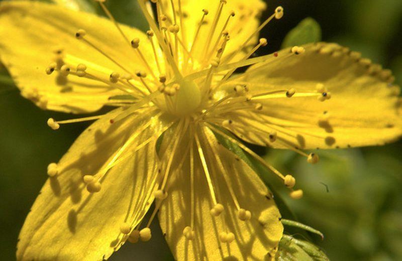 Olio Di Iperico Proprietà E Uso Cure Naturaliit