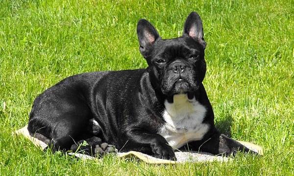 Top 8 giống chó Chó mặt xệ được yêu thích nhất 2021 1
