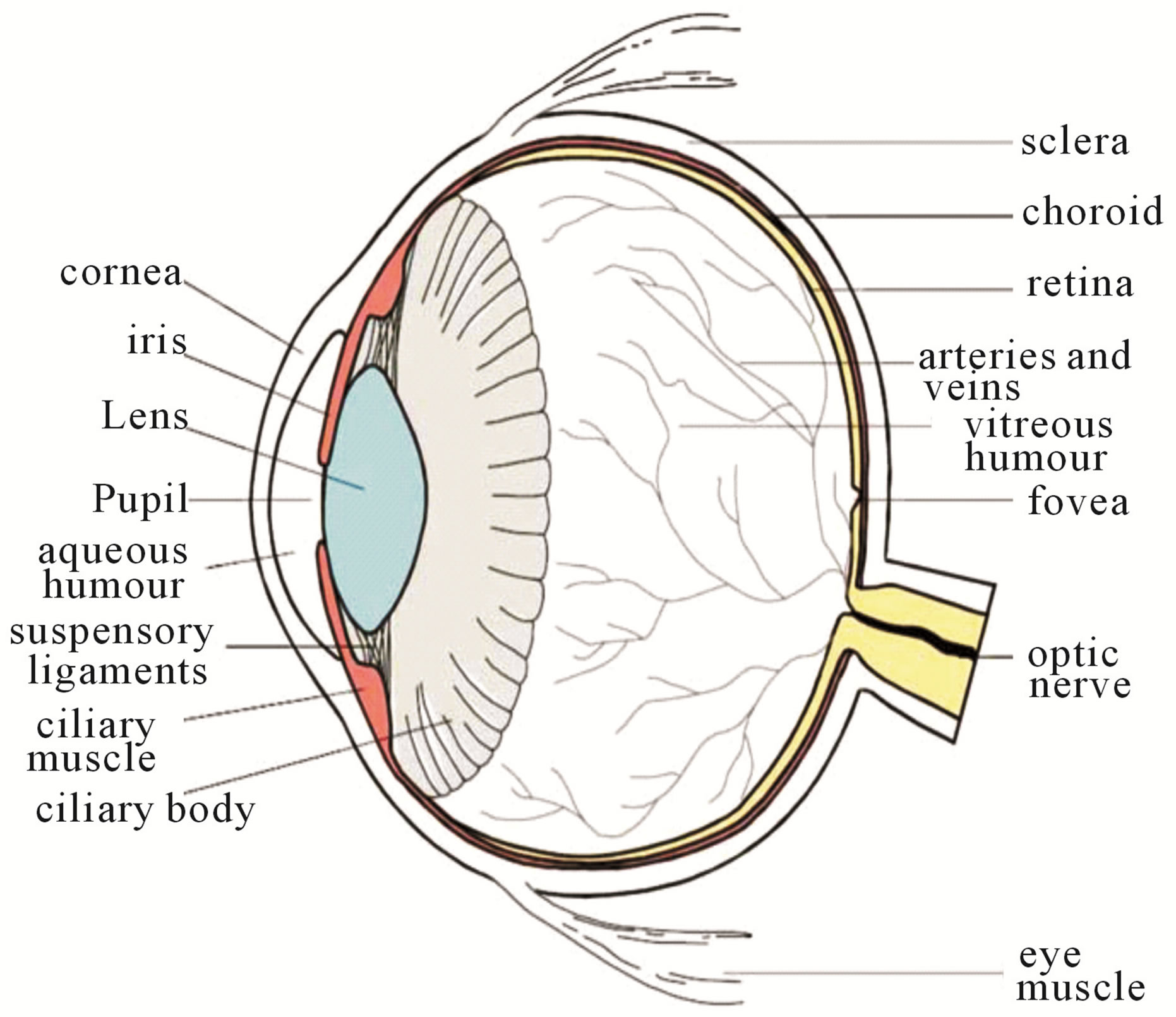 human eye diagram simple 05 f150 stereo wiring