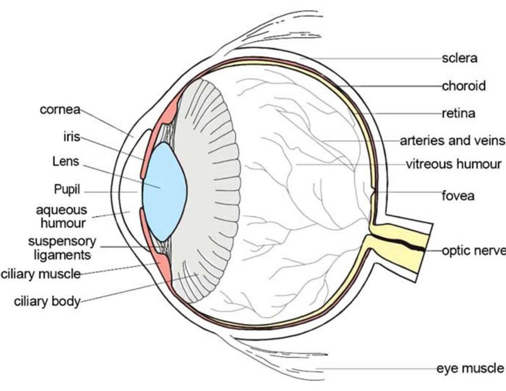 medium resolution of teh eye diagram label wiring diagram forward biology eye diagram label