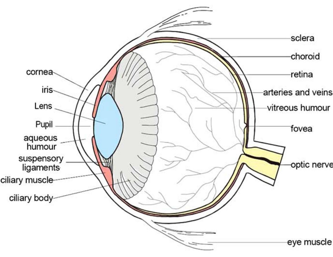 hight resolution of teh eye diagram label wiring diagram forward biology eye diagram label