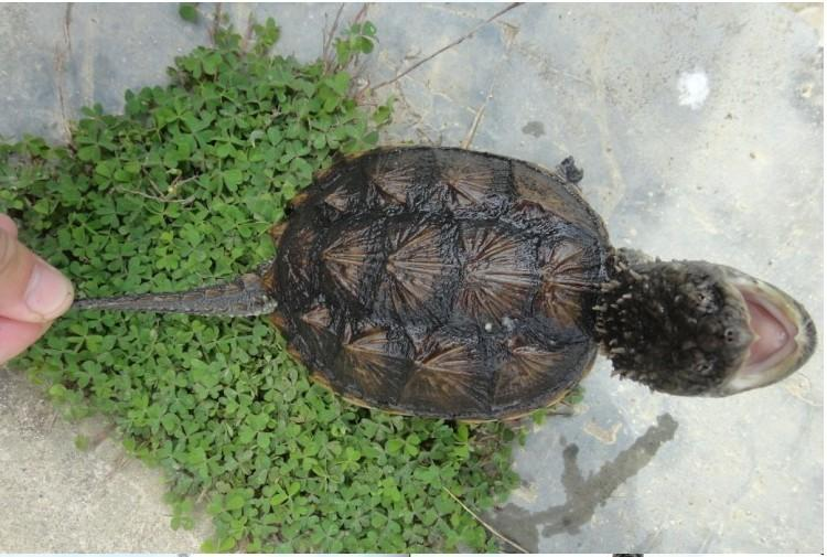 鱷龜價格_2013年鱷龜苗價格_佛鱷龜多少錢-生活資訊網