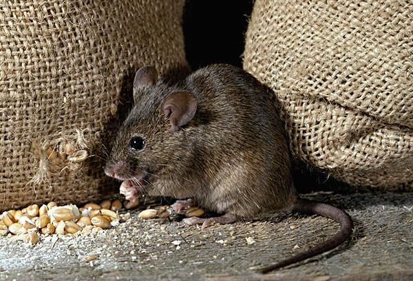 抓老鼠的好方法-什么辦法抓老鼠最有效