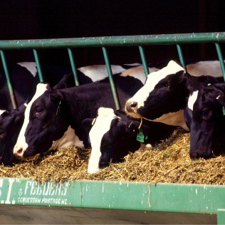 A criação do gado de leite no Brasil e o crescimento do mercado leiteiro