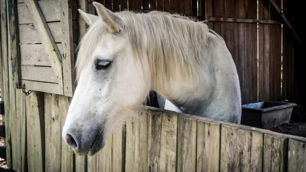 Mormo, a doença que foi extinta e voltou a prejudicar a saúde dos equinos