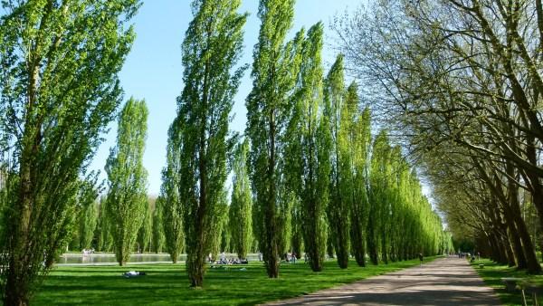 Álamo: versatilidade e beleza, planta é utilizada nas indústrias e jardins