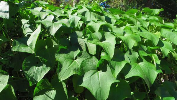 Caramanchão e sua importância nas plantações de trepadeiras