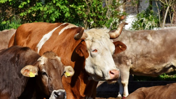 Carbúnculo é doença bovina que pode prejudicar rebanhos inteiros