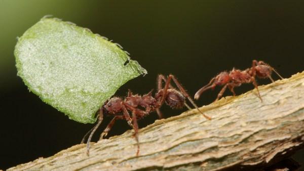 Correição: entenda como ocorre esse fenômeno entre as formigas