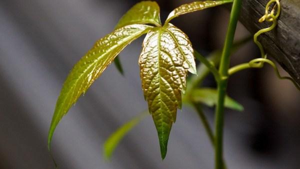 Gavinhas estão presentes nas plantas e auxiliam na agricultura