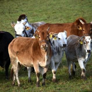 Zebu: as principais características e raças deste gado bovino