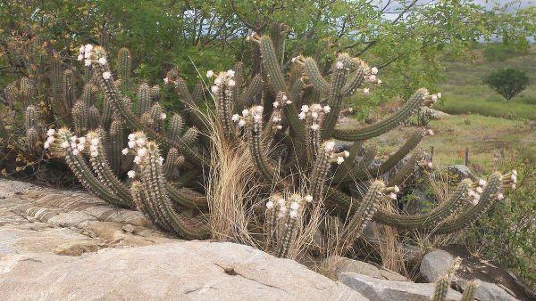 Xerófilas evoluíram para sobreviver em solos secos e áridos