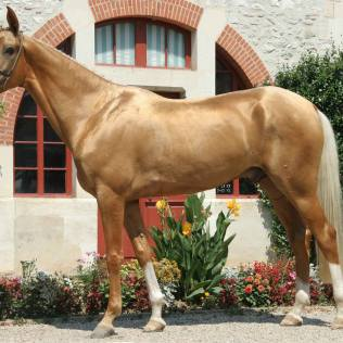 Akhal Teke é uma raça de cavalos famosa por sua pelagem dourada