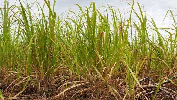 Cana-de-açúcar e a sua participação na indústria brasileira