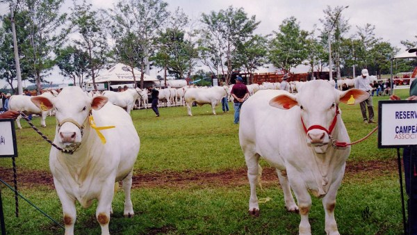 Canchim: a origem e a importância dessa raça bovina