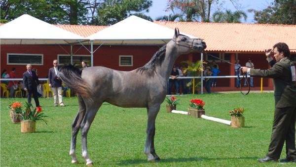 Cavalo árabe ganha fãs por sua velocidade e facilidade de manejo