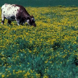 Forrageira é planta utilizada na alimentação de animais