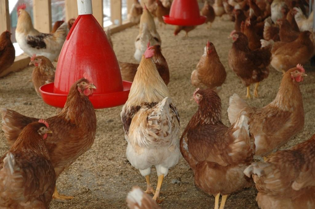 granjas destinadas à criação de galinhas