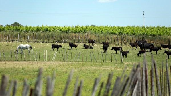 Mastite bovina é um dos principais problemas nas fazendas brasileiras