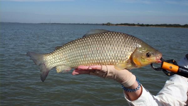 Piauçu é espécie valorizada no mercado dos pescados